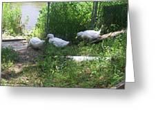White Ducks On A Ramp Greeting Card