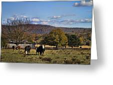 White Faced Cattle In Autumn Greeting Card