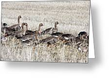 White Fronted Goose - 0017 Greeting Card