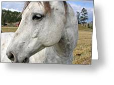 White Horse Closeup Greeting Card