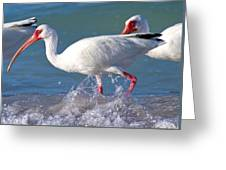 White Ibis On The Shore Greeting Card