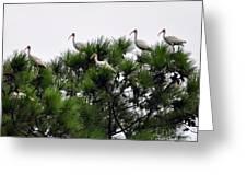 White Ibises Roosting Greeting Card
