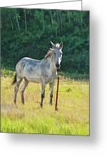 White Mule No.5007 Greeting Card