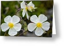 White Rock-rose (helianthemum Apenninum) Greeting Card