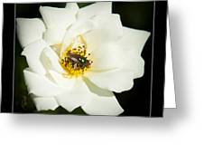 White Rose Greeting Card by Miguel Capelo