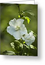 White Rose Of Sharon Greeting Card by Teresa Mucha