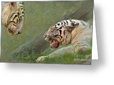 White Tiger Growling At Her Mate Greeting Card