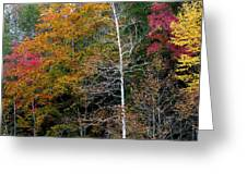 White Tree Fall Colors  Greeting Card