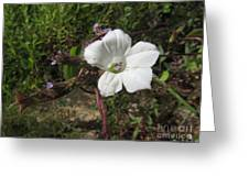 Small White Morning Glory Greeting Card