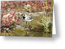 White Wagtail Greeting Card