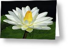 White Waterlily Greeting Card