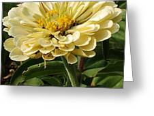 White Zinnia Greeting Card