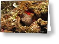 Whitemouth Moray - Hawaii Greeting Card