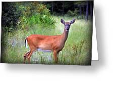 Whitetail Deer IIi Greeting Card