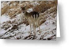 Whitetail Fawn In A Winter Meadow Greeting Card