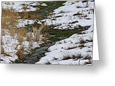 Whitetail Fawn In Winters Stream  Greeting Card