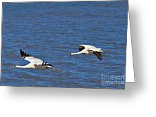 Whooping Cranes Greeting Card
