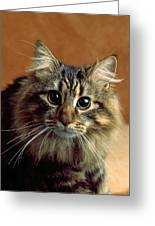 Wide-eyed Maine Coon Cat Greeting Card