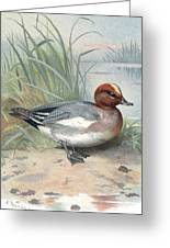 Widgeon, Historical Artwork Greeting Card