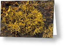 Wig-wrack Seaweed Greeting Card by Bob Gibbons