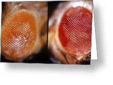 Wild & White-eosin Eyes In Drosophila Greeting Card