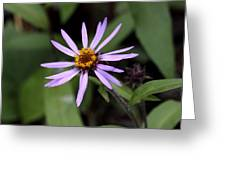 Wild Aster Greeting Card