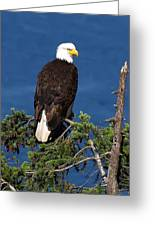 Wild Bald Eagle On Fir Tree Greeting Card