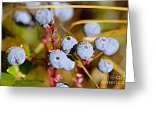 Wild Blue Berries With Water Drops  Greeting Card
