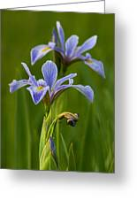 Wild Blue Flag Iris Greeting Card