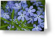 Wild Blue Phlox Flower 1 A Greeting Card