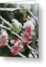 Wild Currant Blossoms Ribes Sanguineum Greeting Card