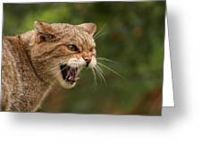 Wild Highland Cat Greeting Card by Jacqui Collett