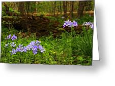 Wild Phlox In The Woodlands Greeting Card