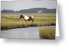 Wild Pony In The Marsh On Assateague Island Md Greeting Card