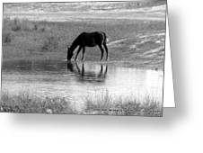 Wild Spanish Mustang Of Obx Nc Greeting Card