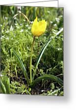 Wild Tulip (tulipa Sylvestris) Greeting Card