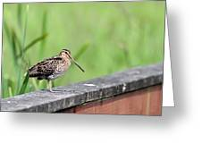 Wilson's Snipe Greeting Card