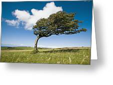 Wind-swept Solitary Tree On Open Grassy Greeting Card