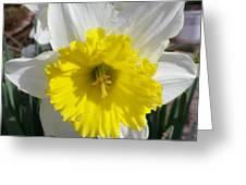 Winter Daffodil  Greeting Card
