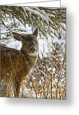 Winter Dining For A Black-tailed Deer Greeting Card by Tim Grams