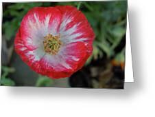 Winter Poppy Greeting Card