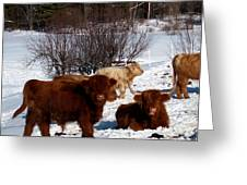 Winter Steer  Greeting Card by The Kepharts
