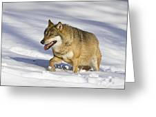 Wolf Canis Lupus Walking In Snow Greeting Card