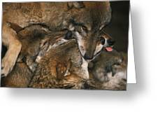 Wolf Pack Biting Each Others Muzzles Greeting Card