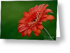 Wonder Of Nature Gerber Daisy Greeting Card