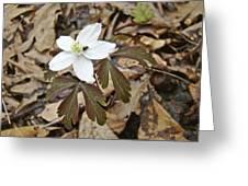 Wood Anemone - Anemone Quinquefolia Greeting Card