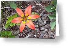 Wood Lily Lilium Philadelphicum Greeting Card