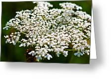 Yarrow Plant Flower Head  Greeting Card