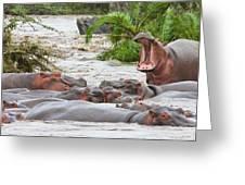 Yawning Hippo Hippopotamus Amphibius Greeting Card