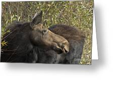 Yearling Calf On Alert Greeting Card